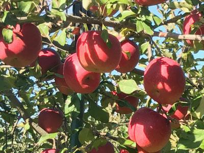 【コラム】ドライりんごが出来るまで