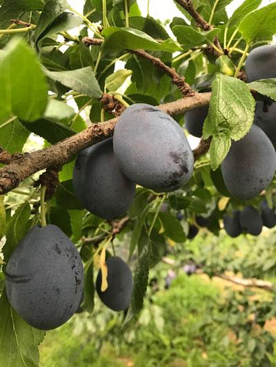 【コラム】夏の果物加工 第一弾はプルーン!